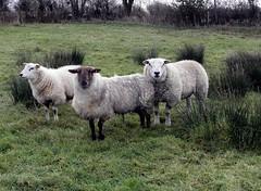 Our B&B (IrenicRhonda) Tags: ireland game public animal eire pre february done 2012 irl leinster gamewinner redbubble pregamewinner notsentgetty