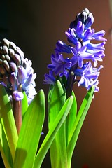 Spring Colors (ovi_) Tags: green sunshine spring purple hyacinth