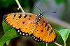 Acraea violae Butterfly