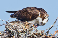Dinner for Two! (Andy Morffew) Tags: nest florida chick explore ospreys marcoisland tigertailbeach specanimal birdperfect andymorffew morffew