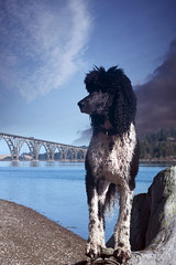 At the Old Ferry Crossing (Runs with Poodles) Tags: bridge blue portrait sky cloud dog white storm black water oregon bay log canine tuxedo poodle pacificnorthwest briggs parti standardpoodle coosbay northbend particolor ferrycrossing cooscounty partipoodle mcculloughbridge dogchal