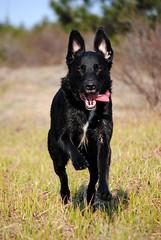 17.52 - Action (Paradis Photography) Tags: dog black lab labrador cross canine retriever cody 52weeksfordogs