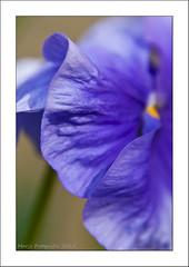(Marjo1963) Tags: blue spring blauw lente viooltje 032012