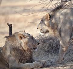 A Pair of Royals - IMG_2652B&W-4 (Swaranjeet) Tags: india photos indie thane mumbai 2012 singh sjs hindustan swaran sjsphotography swaranjeet swaranjeetsingh swaranjeetphotography sjsvision bharatvarsh