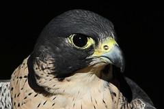 Peregrine Falcon (Leo Reynolds) Tags: bird animal fauna canon eos iso100 300mm 7d f80 0003sec hpexif leol30random xleol30x xxx2014xxx