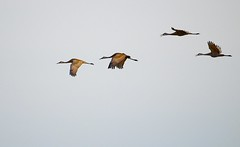 Four Cranes (imageClear) Tags: sky bird nature wisconsin fly flying nikon flickr wildlife flight cranes telephoto birdsinflight marsh collins sandhill photostream afs sandhillcranes bif naturephotography 80400mm birdphotography wildlifephotography d7000 imageclear collinsmarsh