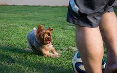 Cachorro Futeboleiro (viniciusjp83) Tags: playing co soccer yorkshire terrier cachorro futebol jogando