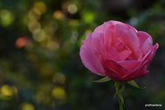 1-DSC_0310 evening light on small pink rose (profmarilena) Tags: macro closeup bokeh rosa pinkrose sigma105 nikond810
