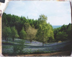 (auspices) Tags: blue england film nature bluebells landscape polaroid see spring it snap hills instant 240 clent