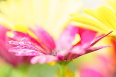 Farbenzauber (Photo-Passion.net) Tags: natur pflanze rosa gelb makroaufnahme blume makro naturfotografie makrofotografie