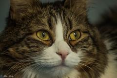 Carlotta (tinellifabio) Tags: cats animal cat canon eyes feline shine profile longhair occhi sguardo charlie felino colori gatto ritratto animale carnivoro carlotta clors profilo animaledomestico mammifero pelolungo striature occhigialli 55250 catlonghair canon600d