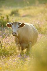 mmuhhhhh....... (look to see) Tags: portugal cow bokeh koe 2016 castelodevide