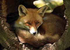 red fox aanholt JN6A8905 (j.a.kok) Tags: fox vos redfox anholt rodevos