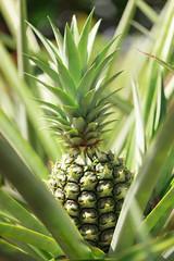 pineapple (lemank) Tags: fruit pineapple mountsbotanicalgardens