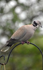 DSC_3378 Collared Dove Taken through the Caravan Window  and has big wound on its Neck (John Carson Essex) Tags: h thegalaxy supersix rainbowofnature thegalaxystars