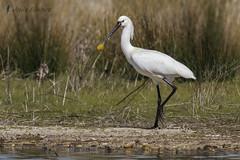 Esptula comn (Platalea leucorodia) (jsnchezyage) Tags: naturaleza bird fauna birding platalealeucorodia esptulacomn