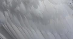In Gentle Slumbers..did I weep (Julie Rutherford1) Tags: white gardens swan feathers dreams kensington
