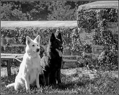 best friends (Fay2603) Tags: dog white black dogs monochrome animal tongue grey outdoor stones ears hund gras haustier hunde shephard stine tier zunge ohren einfarbig schwarzweis schferhunde gespitzte