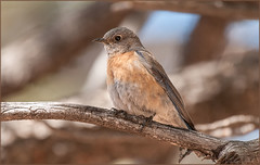 Bryce - Say's Phoebe (TT_MAC) Tags: bird brycecanyon songbird flycatcher brycecanyonnationalpark saysphoebe sayornissaya utahusa