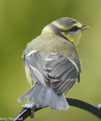 Wistful (Katy Wrathall) Tags: 2016 bluetit eastriding eastyorkshire england june summer baby birds feeders garden 30dayswild