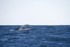Humpback tail (IAGD+P) Tags: manly sydney blowing whales humpbackwhales northernbeaches whaleseason