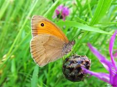 Butterfly 955 (+290000 views!) Tags: butterfly papillon borboleta mariposa farfalla schmetterling