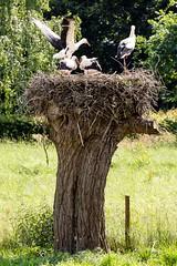Wilde Storchfamilie (guido.elting) Tags: wild nest natur chick stork storch wildnis strche