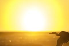 grey heron (jaygilmour11) Tags: flight cool sunset red orange sun grey heron shore beach water sky bird nature light art landscape california san francisco nikon sigma