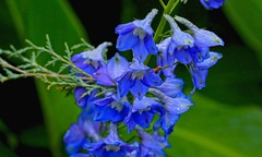 Beautiful  blue (Rajavelu1) Tags: blue india plant flower art garden creative ooty artland macrophotograph canon6d