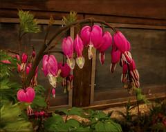 The Heart of the Matter (danielgweidner) Tags: flowers flower texture nebraska places textures nik onone s120 nikcolorefx viveza2 stbenedictsretreatcenter