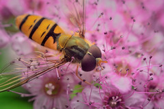 hoverfly (epioxi) Tags: macro nature reversed hoverfly macrophotography reversing schneiderkreuznach schwebfliege componon epioxi