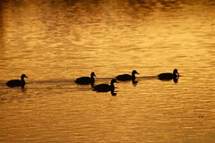 golden hour at Swithland (karlh1970) Tags: reflection clouds leicestershire ducks swithland goldenlight
