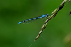 IMGP9880 Common Blue Damselfly, Lackford Lakes, June 2016 (bobchappell55) Tags: blue wild nature insect suffolk wildlife lakes reserve trust common damselfly lackford