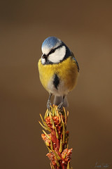 Cinciarella. (lucio.t) Tags: thewonderfulworldofbirds micarttttworldphotographyawards micartttt michaelchee