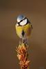 Cinciarella. (lucio.t) Tags: thewonderfulworldofbirds micarttttworldphotographyawards micartttt michaelchee