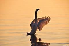 Essorage intensif (Diegojack) Tags: eau lac cygnes oiseaux peregrino27life