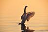 Essorage intensif (Diegojack) Tags: lac eau cygnes peregrino27life oiseaux