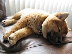 IMG_0190 (natl1046) Tags: dog cute puppy japanese furry adorable fluffy kawaii doggy pup breed shibainu shiba yoshi