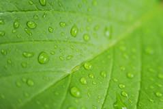 Green Leafs (Brandon Mauth) Tags: green greenleafs
