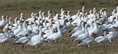 Lesser snow geese (Through The Big Lens) Tags: canada bird nature birds vancouver nikon bc britishcolumbia wildlife birding aves lowermainland birdphotography wildlifephotography simonrichards d7000 throughthebiglens