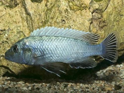 Pseudotropheus tursiops Magunga Reef