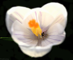 The pollen collector (Anthony Goodall) Tags: flower macro bug insect ant canoneos55d mygearandme