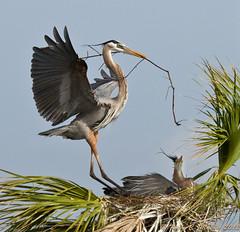 Great Blue Heron (Ardea herodias), Viera Wetlands, Orlando, Florida-3.jpg (kmalone98) Tags: wildlife aves top20nature greatblueheron nestbuilding ardeidae ardeaherodias vierawetlands bitternsheronsandegrets birdnestconstruction