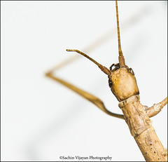 """Stick Insect........... Press """"L"""" view it in black (sachinvijayan) Tags: ireland macro nature insect camouflage creature stickinsect 105mm tallaght nikond3 reddotstudio reddotstudios"""