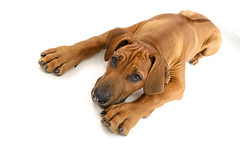 big foot (Dan65) Tags: dog baby puppy young ridgeback pedigree rhodesian