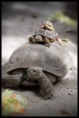 3 Generations (Lluvia A.) Tags: naturaleza nature animals desert turtles desierto tortugas repti