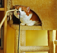 Playful Scully. (Athanassia) Tags: red white cat kat tabby rood wit scully ticked cyper