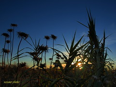 entre cardos (nandoseo) Tags: sunsets ocasos