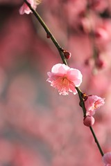 All pink (tanakawho) Tags: pink plant flower nature spring dof blossom bokeh plum tanakawho