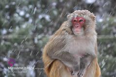 Monkey in the Snow (RzzA) Tags: pakistan portrait brown snow green animal monkey nikon looking view nat falling national snowing reza geo gali geographic nathia d90 nathiagalli rzza muhammedrezaphotography